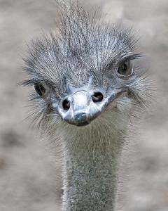 Struisvogel pieter van marlon